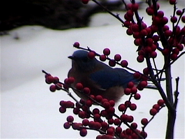 eastern bluebird in winterberry bush