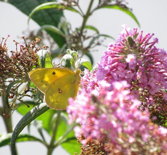 sulfer butterfly