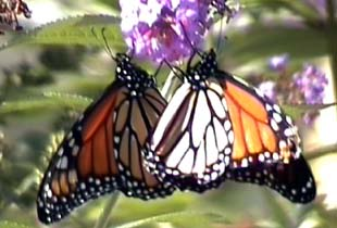 an analysis of the danaus plexippus as belonging to he family danaidae The monarch butterfly, danaus plexippus, is famous for its spectacular annual migration across north america, recent worldwide dispersal, and surprisingly, collagen iv subunit α-1 and α-2 were down-regulated in migratory butterflies, leading us to hypothesize that natural selection may be acting on.