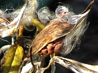 milkweed pod open showing seeds