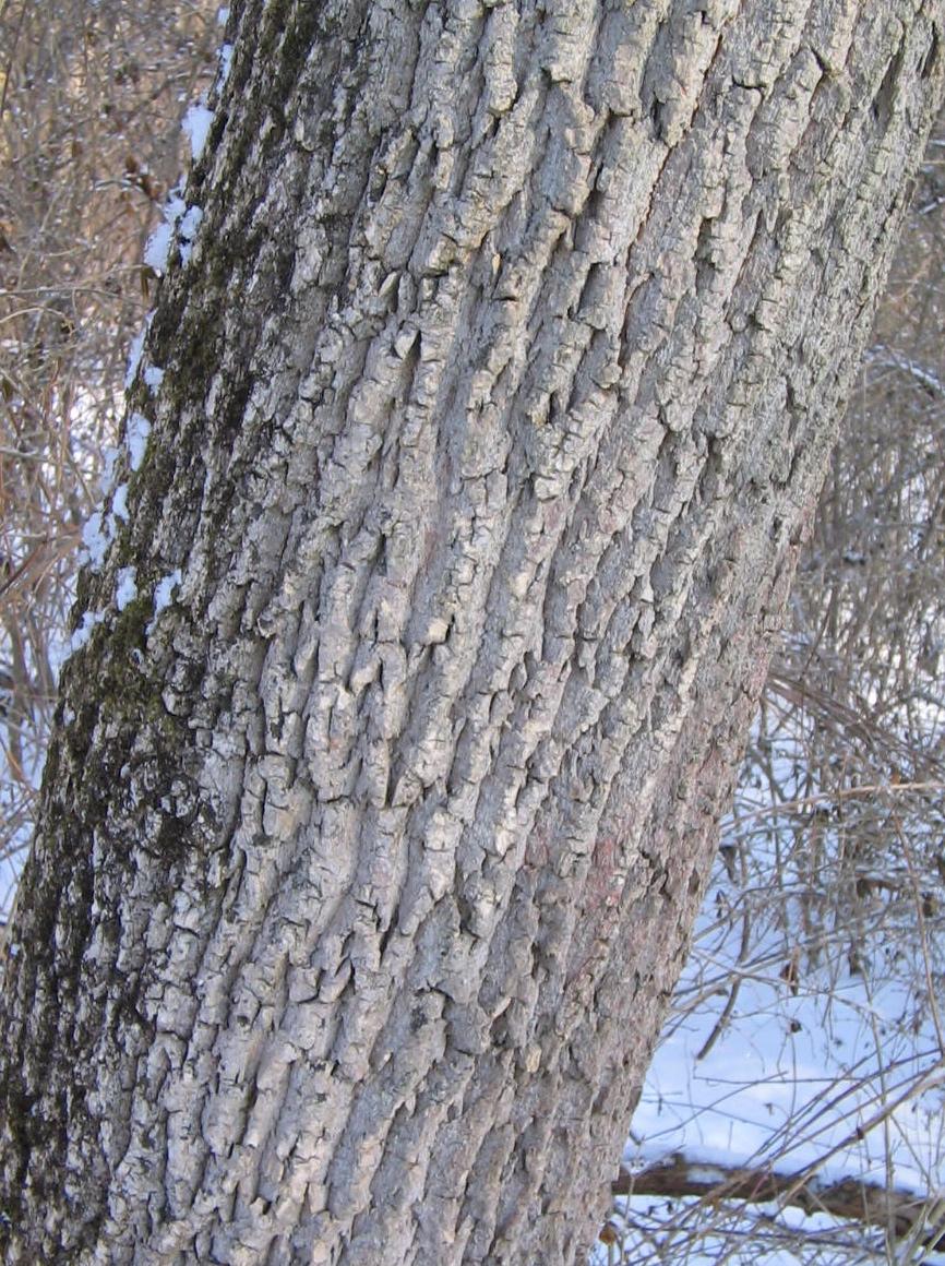 Ash Wood Bark ~ Plants and people ash