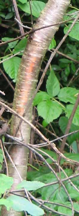 black cherry tree bark. Sargent Cherry tree bark