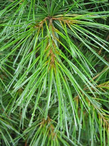 Pine Needle Tree Identification