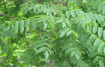 Toxicodendron Vernicifluum  an overview  ScienceDirect